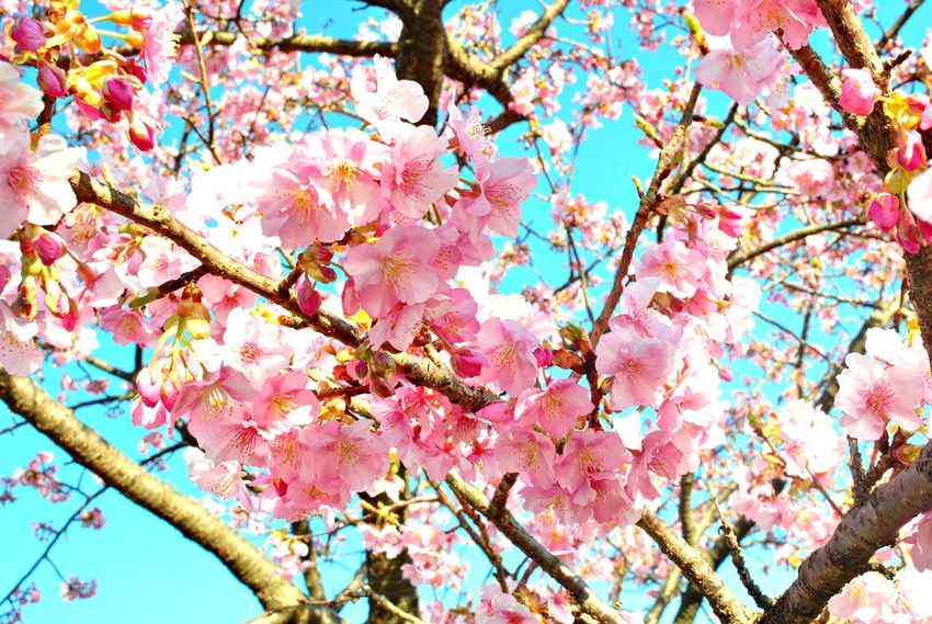 Beauty In Nature Branch Close-up Day Flower Fragility Freshness Growth Low Angle View Nature No People Outdoors Pink Color Sky Tree The Great Outdoors - 2017 EyeEm Awards