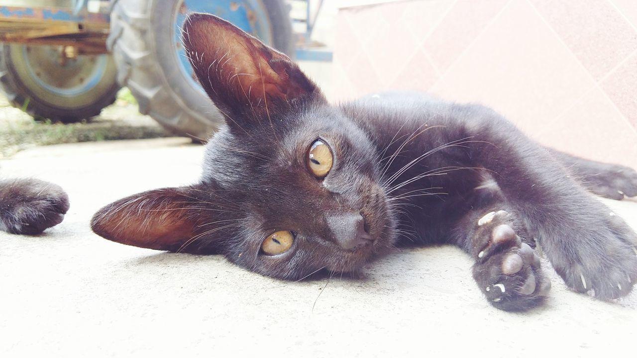 Close-Up Portrait Of Black Cat Lying Down