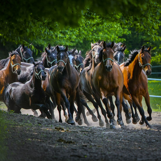 Animal Themes Arabian Horses Domestic Animals Gallop Galloping Herd Of Horses Horse Stud Horses Large Group Of Animals Mammal Nature Outdoors Speed BYOPaper! EyeEmNewHere