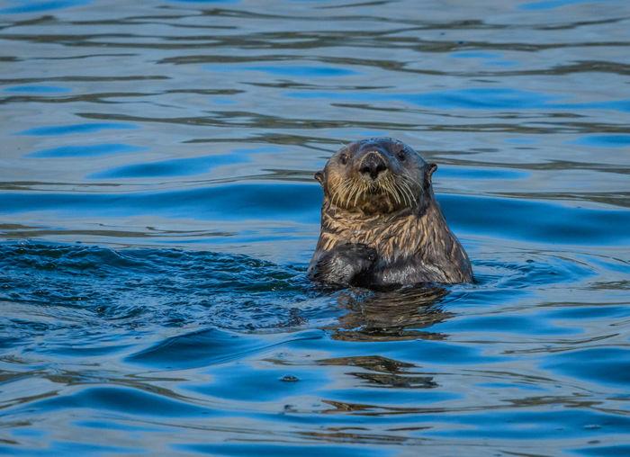 Sole Sea Otter