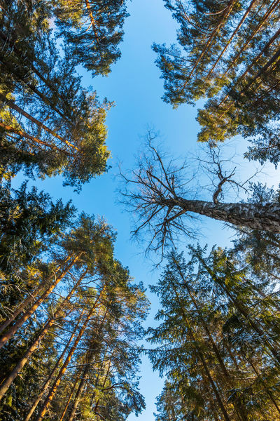 Crowns of trees, view from below. Beauty In Nature Beauty In Nature Blue Branch Clear Sky Coniferous Tree Day Growth Low Angle View Nature No People Outdoors Pine Woodland Scenics Sky Sunlight Tranquility Tree Winter