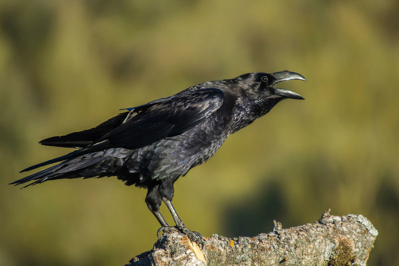 Corvus Corax Raven Animal Themes Animal Wildlife Animals In The Wild Beak Bird Black Color Blackbird Close-up Crow Day Focus On Foreground Nature No People One Animal Outdoors Perching Raven - Bird Side View