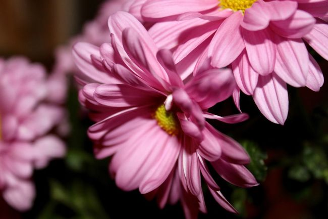 Beauty In Nature Close-up Flower Flower Head Flowering Plant Petal Pink Color Plant