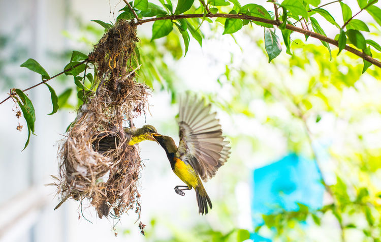 Feeding  Feeding Animals Olive-backed Sunbird Animal Animal Themes Animal Wildlife Animals In The Wild Beauty In Nature Bird Close-up Day Feeding The Birds Flapping Flying Focus On Foreground Low Angle View Mid-air Nature No People One Animal Outdoors Plant Spread Wings Tree Vertebrate
