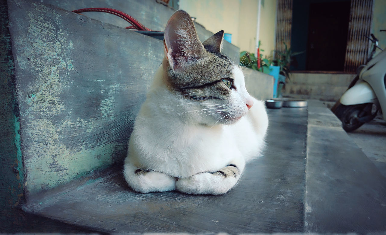 domestic cat, pets, animal themes, one animal, domestic animals, mammal, feline, cat, sitting, no people, indoors, day, close-up