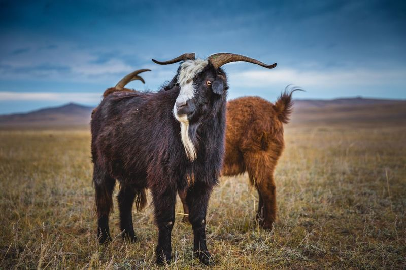 Goats Standing On Landscape Against Sky