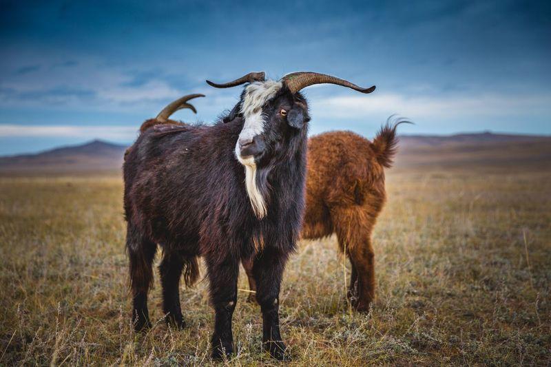 Goats standing on landscape against sky