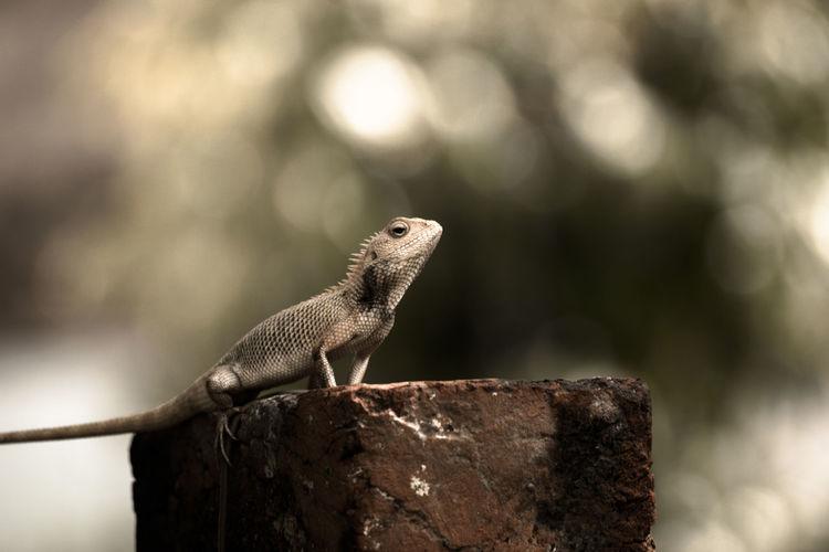 Oriental Garden Lizard On Rock