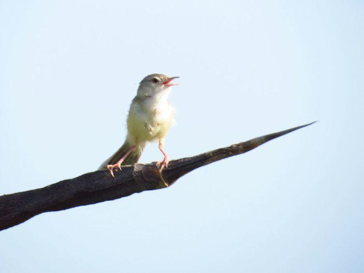 Uae,abudhabi Corniche Abudhabi Birds🐦⛅ Bird Photography Bird Singing