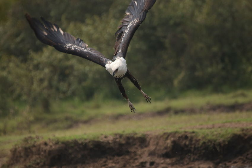 Eagle Animal Themes Animal Wildlife Animals In The Wild Beauty In Nature Bird Bird Of Prey Close-up Day Field Flying Full Length Mid-air Nature No People One Animal Outdoors Spread Wings Vulture