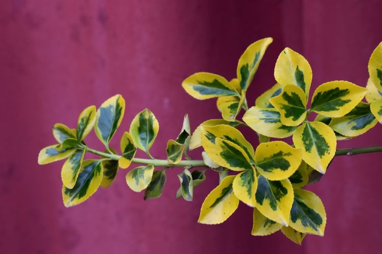 Leaf Plant Part Plant Colored Background Close-up Freshness Green Color No People Nature Red Flower Herb Flowering Plant Yellow Flower Vibrant Color Growth Contrast