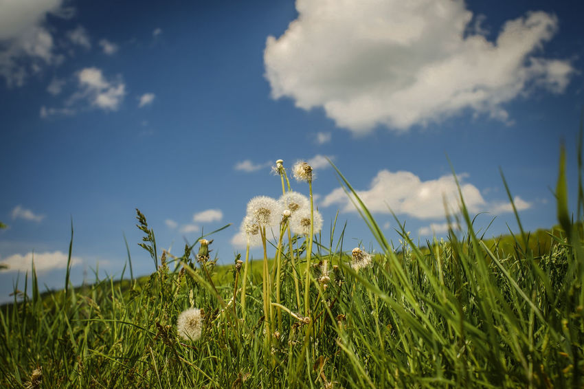 Grass Cloud - Sky Sky Nature Outdoors Growth No People Plant Day One Animal Animal Wildlife Flower Rural Scene Beauty In Nature Close-up Jacqueline Schreiber Cosinon -w 28mm Fujifilm_xseries Fujifilm X-m1 Manuel_focus Focus On Foreground Fujifilm Pusteblumen Hildesheim Outdoor Photography