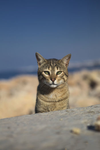 Animal Themes Beauty In Nature Crosseyed Domestic Cat Egyptian Cat Egyptian Street Cat Feline Green Eyed Cat Looking At Camera Looking Straight At Camera Mammal One Animal Portrait Street Cat Wilde Feline