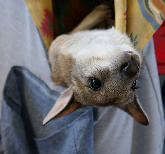 Upside down joey! A cute baby kangaroo in a fabric pouch turns his head upside down looking around. Animal Face Animal Themes Baby Animal Being Silly Big Eyes Close-up Cute Day Funny Joey Kangaroo Looking At Camera Mammal One Animal