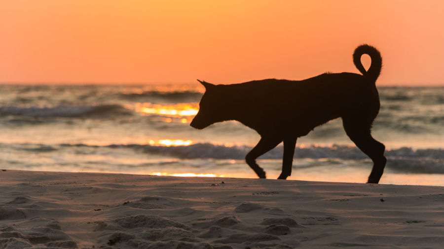 Silhouette horse standing on beach during sunset