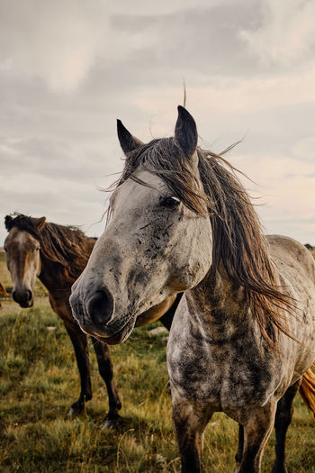 Feral horses, portrait of a grey horse with the herd in the background.