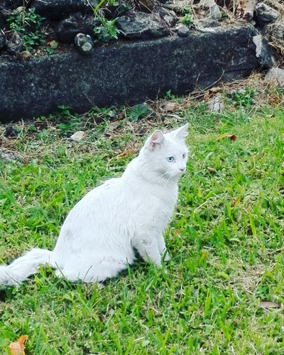 The Cat. Cat♡ Cats 🐱 Catsagram One Animal White Color Animals Eyem Animal Themes Grass Domestic Animals Day Field No People Nature Mammal Pets Outdoors Animals In The Wild Close-up Nature Photography NewYear2017 Huawei P8 Lite. Veracruz,México Nature Tranquility Naturaleza