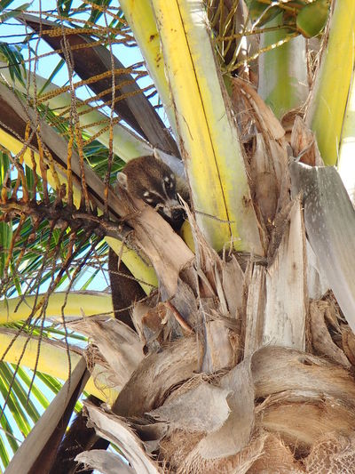 Coati in playa maroma Animal Themes Animals In The Wild Branch Coati Mexico One Animal Outdoors Palm Trees Punta Maroma Tree Tree Trunk Wildlife