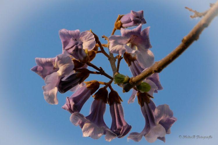 Blauglockenbaum Heikobo 2015  Blüte Blauglockenbaum