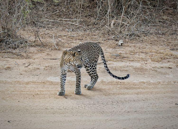 Difícil pero no imposible... Emoción ! New Beginnings Leopardo Safari Park Safari Animals EyeEm Nature Lover EyeEm Gallery Eye Em Nature Lover Yala National Park Sri Lanka Yala National Park Yalanationalpark Leopard Safari Animals Sand Spotted Animal Markings
