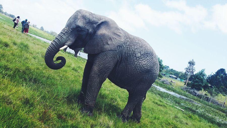 Iloveafrica Elephants <3 Elephant Nature Park Elephant ♥ Omd E-m1 Elephant Knysna Knysna Southafrica Taking Photos Animal Photography Instagram #iphoneography #iphonesia #photooftheday #iphone #iphoneonly#instagood #tweegram #love #instagramtagsdotcom #instamood #igers #me #cute #instagramhub #picoftheday #girl #jj #instadaily #bestoftheday #igdaily #beauitful #instatags #picstitch #