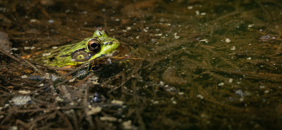 Close-up of frog on lake
