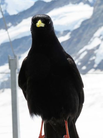 Bird Photography Paying Attention Alpine Chough Animal Themes Animals In The Wild Beauty In Nature Bird Chough Close-up Cold Temperature Day Glacier Jungfrau Mountain Nature No People One Animal Outdoors Perching Snow Snowcapped Mountain Swiss Alps Switzerland Trip Photo Winter