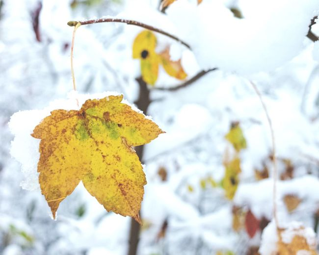 Yellow Leaf Snow Nature Day Beauty In Nature Tranquility Winter Leaves Cold Temperature Close-up No People