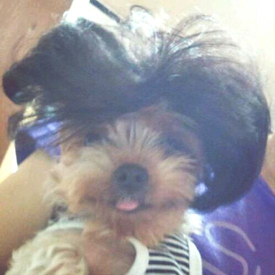 Dog Puppy I Love You Yorkshire Terrier