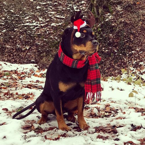 Rottweileroftheday Rottweilerlove Rottweiler One Animal Animal Themes Dog Pets Domestic Animals Mammal Winter Pet Clothing Christmas Outdoors Day Sitting Full Length Tree No People