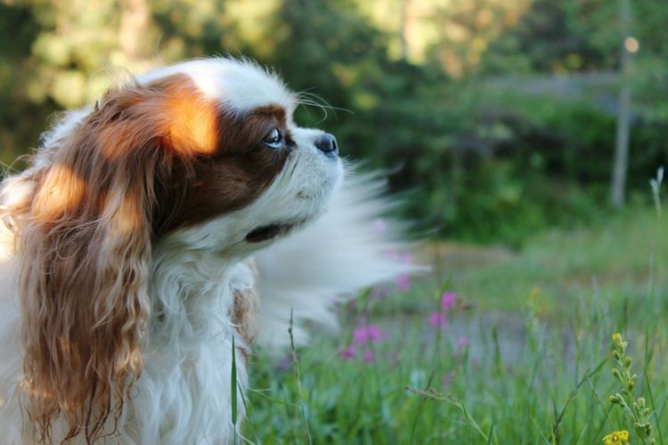 Dog Pets One Animal Domestic Animals Animal Mammal Alertness Outdoors No People Day Nature Grass Sitting Animal Themes Close-up King Charles Cavalier Cavalier King Charles Spaniel Cavalier  Cavalierkingcharles Kingcharlesspaniel Kingcharlescavalier Dog Portrait Dog Posing Portrait Animal Portrait Pet Portraits