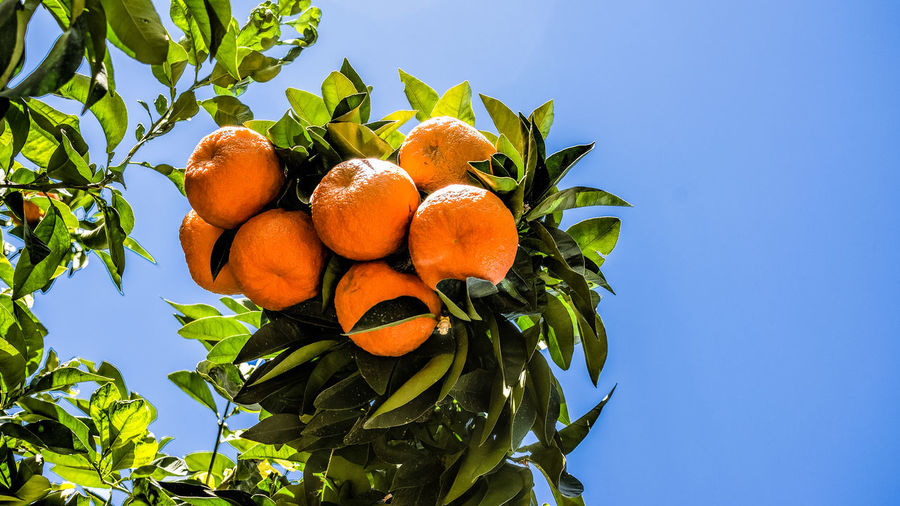 Bunch of Oranges Fruit Healthy Eating Low Angle View Food And Drink Plant Part Leaf Sky Food Plant Freshness Tree Orange Color Nature Blue Growth No People Day Green Color Fruit Tree Wellbeing Orange Outdoors Ripe