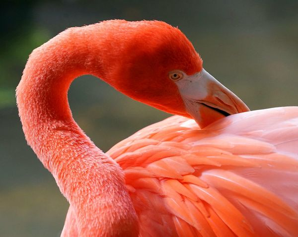 flamingo Bird Flamingo Pink Color Animal Body Part Red Beak One Animal Animal Portrait Animal Wildlife Close-up Feather  No People Multi Colored Outdoors Confined Space Nature Day