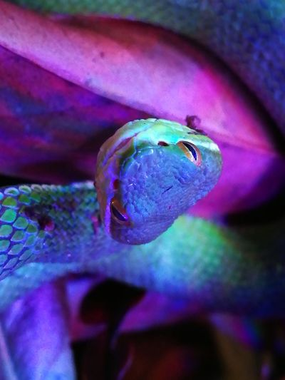 Be. Ready. Juvenile Snake One Animal Close-up Multi Colored Camouflage No People Reptile Photography Venomous Snake Trimeresurus Albolabris Scales