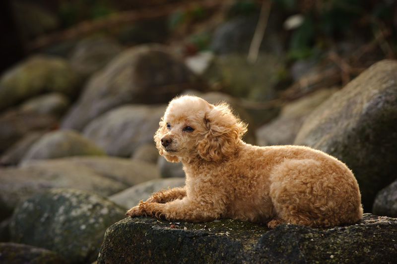 Close-Up Of Poodle Relaxing Outdoors