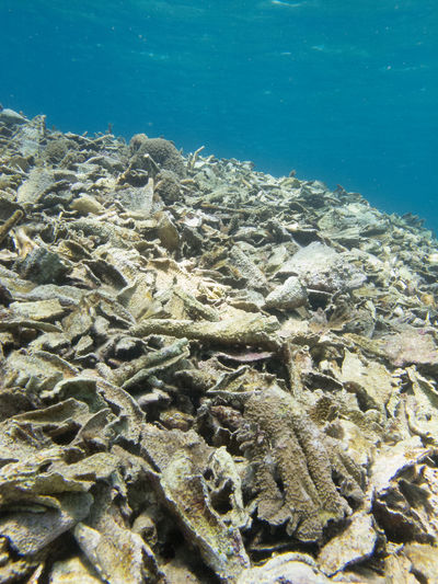 A whole field of foliose coral damaged from a single event, when a storm swept local pontoon infrastructure into the coral reef. EyeEmNewHere Human Impact Close-up Day Dead Coral Dying Environmental Damage Environmental Issues Nature No People Outdoors Reef Damage Sea Sea Life Tropical Ocean UnderSea Underwater Water