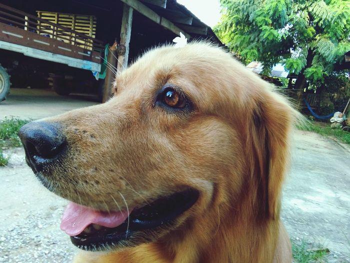 Dog โกเด้น First Eyeem Photo
