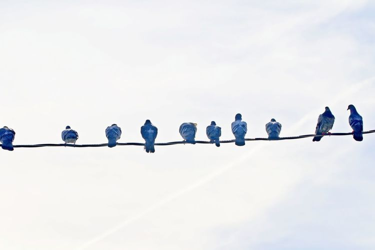 Connection Bird In A Row Nature Group Togetherness Perching Pigeons Birds On The Wire Outdoors Cloud - Sky Sky