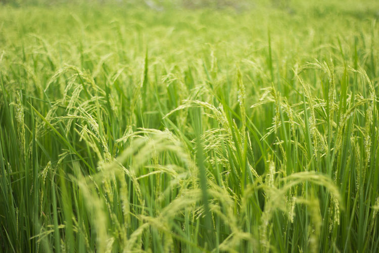 Agriculture Backgrounds Beauty In Nature Cereal Plant Close-up Crop  Day Ear Of Wheat Farm Field Full Frame Grass Green Color Growth Landscape Nature No People Outdoors Plant Rice Rural Scene Scenics Tranquil Scene Tranquility Wheat