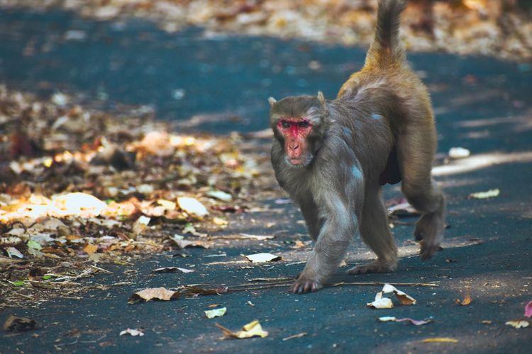 Monkey walking on the street