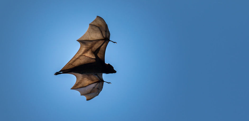 Flying Fox Bat Bats Beauty In Nature Blue Clear Sky Close-up Cut Out Day Flying Flying Fox Hendra Virus Low Angle View Natural Pattern Nature No People Outdoors Sky Sunny Tranquility