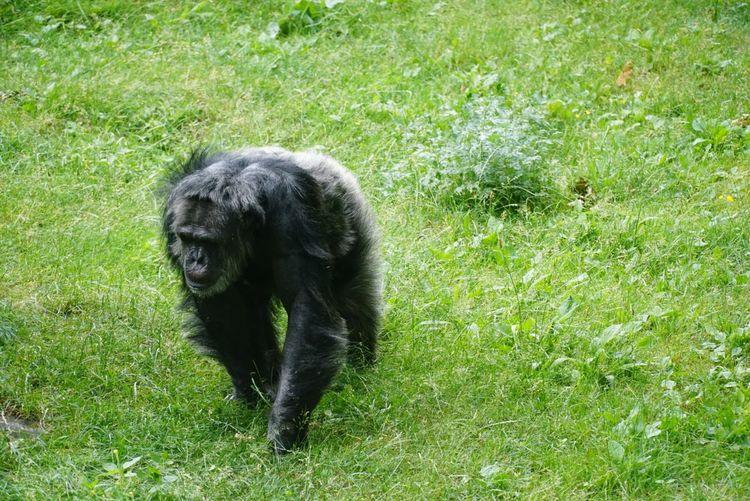 Schimpanse Burger's Zoo Chimpanzee Zoo Burger's Zoo Schimpanse Affe Monkey Pets Grass Green Color
