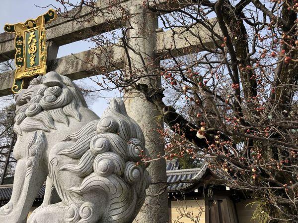 Early Spring Komainu Plam Tree Shrine Of Japan Torii Gate Kitanotenmangu Kyoto Religious Place
