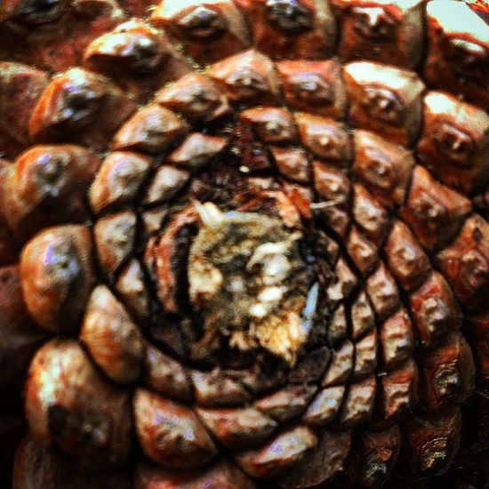 Natureporn EyeEm Nature Lover Nature Photography Nature_collection Beautiful Nature Spiral Spirals Golden Spiral Spiral Out Spiral Pinetrees Pineconeart Pinecones