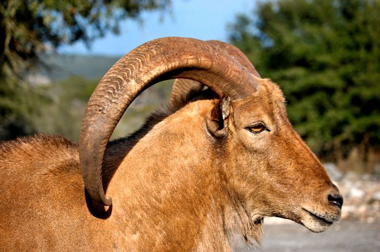 Animal RAM Nature Showcase July