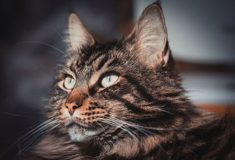 Katze Mainecoon Coonies Pets Portrait Feline Domestic Cat Whisker Cute Animal Hair Close-up EyeEmNewHere