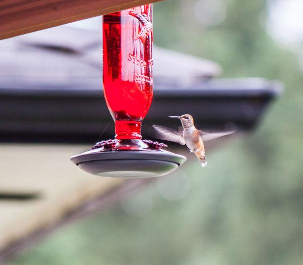 Hummingbird Flying By Bird Feeder