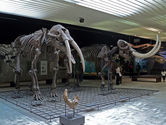 Prehistoric exibition in Senckenberg museum of nature, Frankfurt, Germany Animal Animal Themes Animals Mammal Mammoth Museum No People Prehistoric Senckenberg Naturmuseum Skeleton