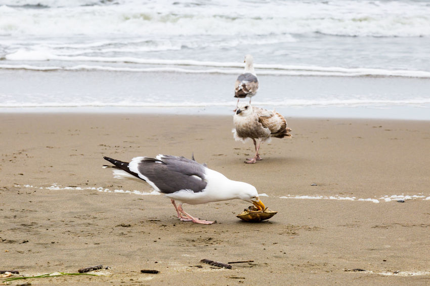 Lunch! Animal Themes Animal Wildlife Animals In The Wild Beach Beauty In Nature Bird Day Eating Motion Nature No People Outdoors Sand Sea Sea Birds Seagull Shore Water Wave