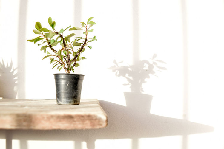 Beauty In Nature Close-up Day Flower Pot Focus On Foreground Growth Houseplant Indoors  Leaf Metal Nature No People Plant Plant Part Potted Plant Selective Focus Small Table White Color Window Wood - Material